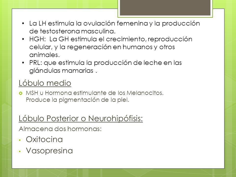 Lóbulo Posterior o Neurohipófisis: Oxitocina Vasopresina