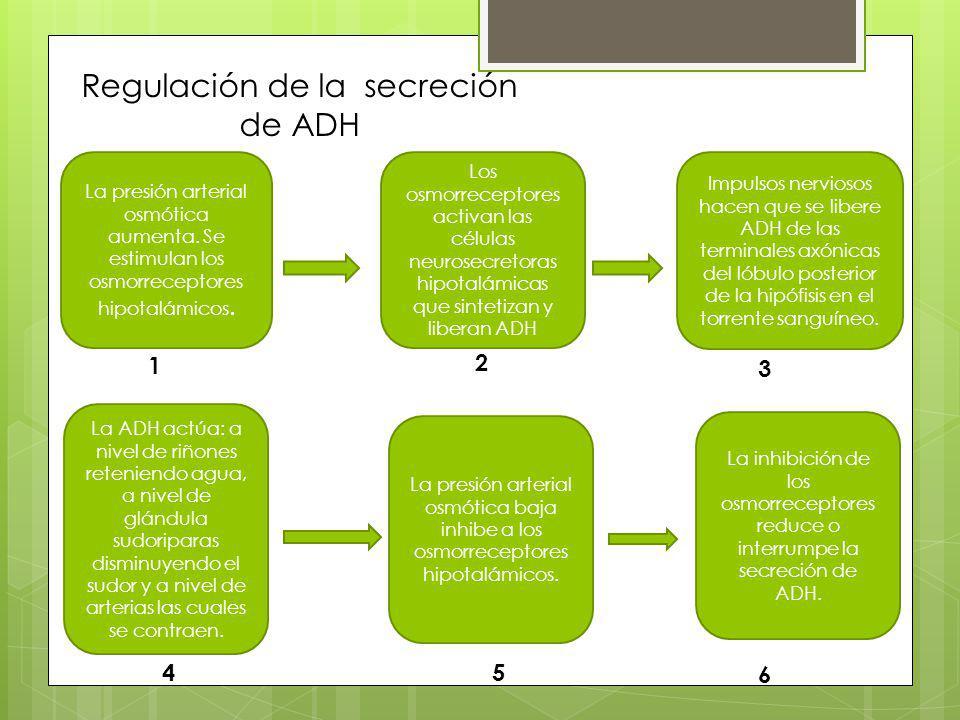 Regulación de la secreción de ADH