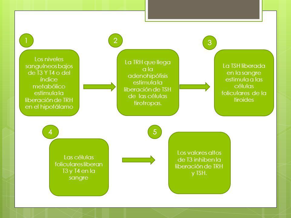 1 2. 3. Los niveles sanguíneos bajos de T3 Y T4 o del índice metabólico estimula la liberación de TRH en el hipotálamo.
