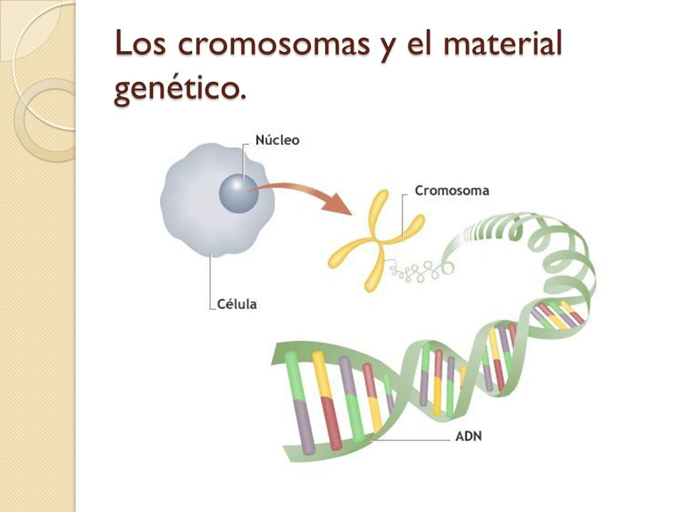 Los cromosomas y el material genético.