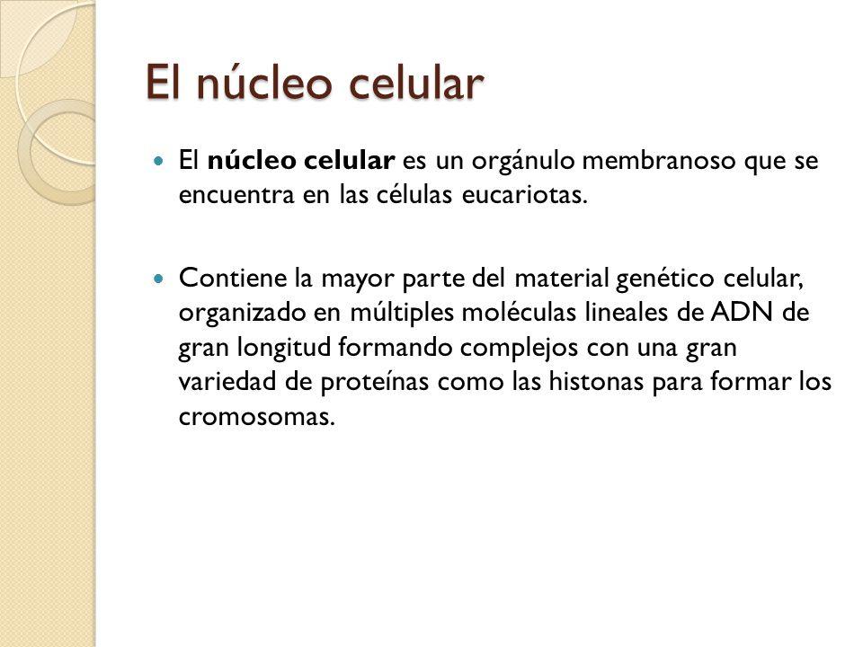 El núcleo celular El núcleo celular es un orgánulo membranoso que se encuentra en las células eucariotas.