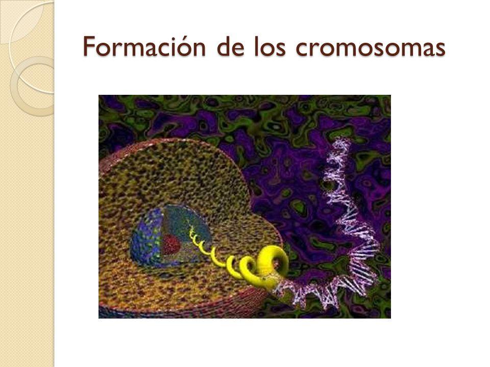 Formación de los cromosomas