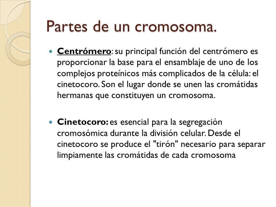 Partes de un cromosoma.