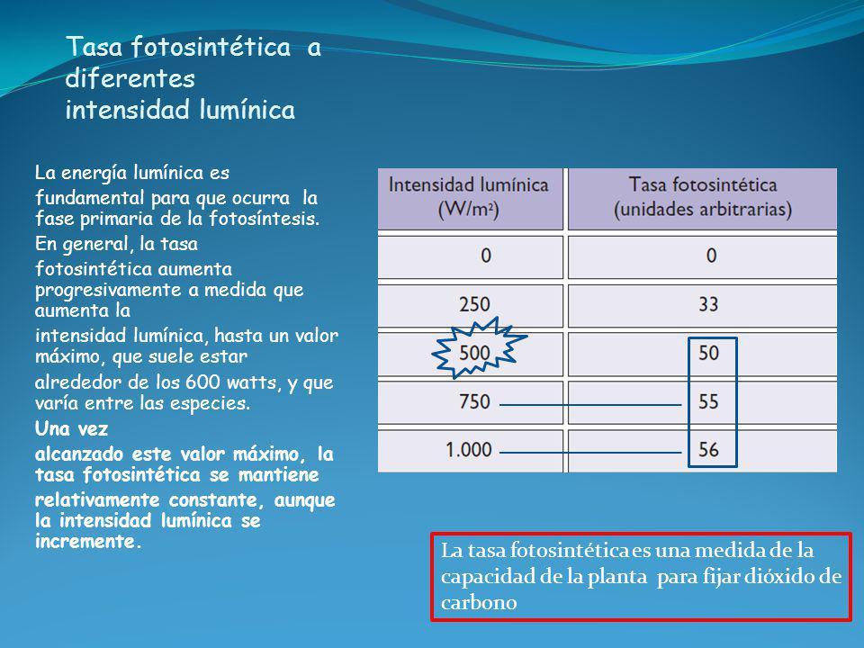 Tasa fotosintética a diferentes intensidad lumínica