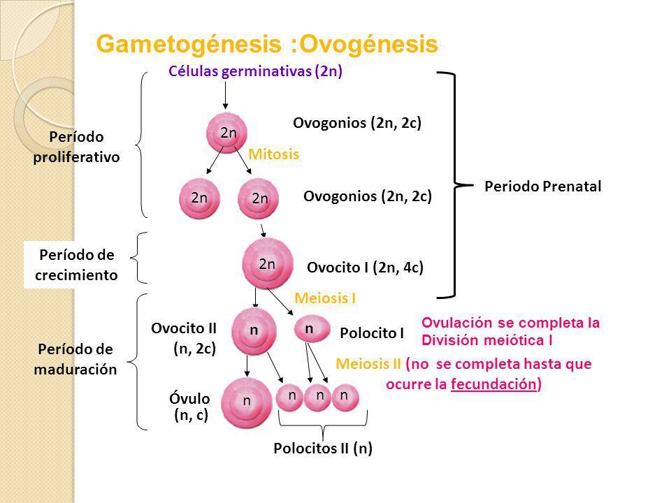 Gametogénesis :Ovogénesis