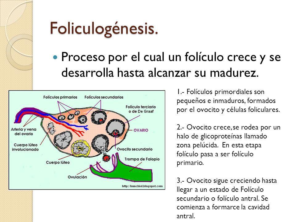Foliculogénesis. Proceso por el cual un folículo crece y se desarrolla hasta alcanzar su madurez.