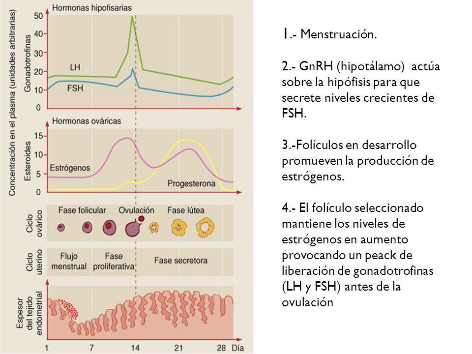 1.- Menstruación. 2.- GnRH (hipotálamo) actúa sobre la hipófisis para que secrete niveles crecientes de FSH.