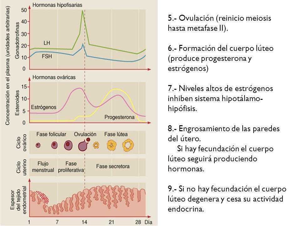 5.- Ovulación (reinicio meiosis hasta metafase II).