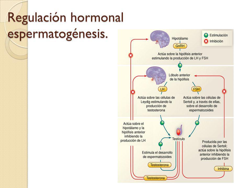 Regulación hormonal espermatogénesis.