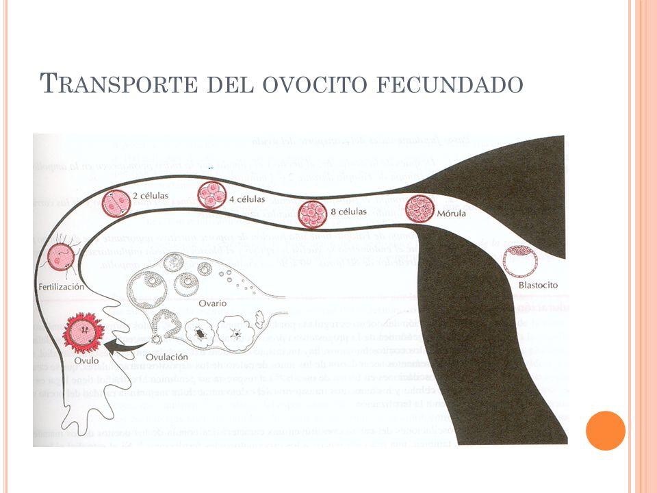 Transporte del ovocito fecundado