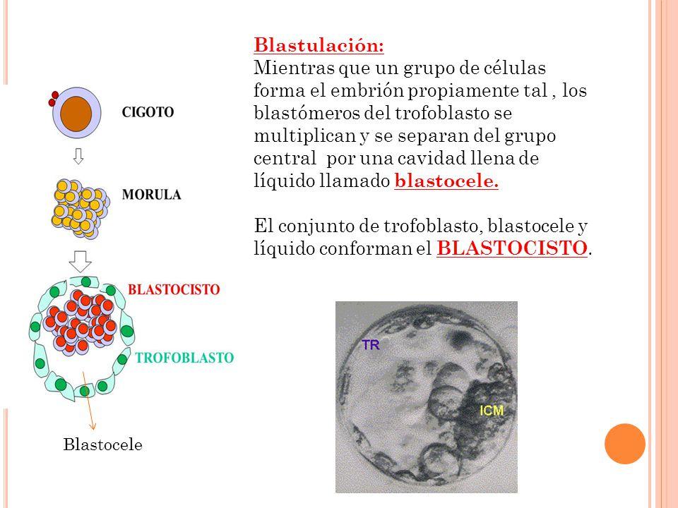 Blastulación: