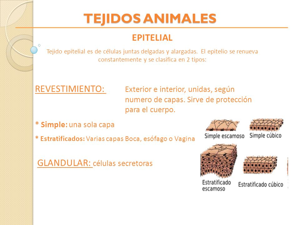 TEJIDOS ANIMALES EPITELIAL