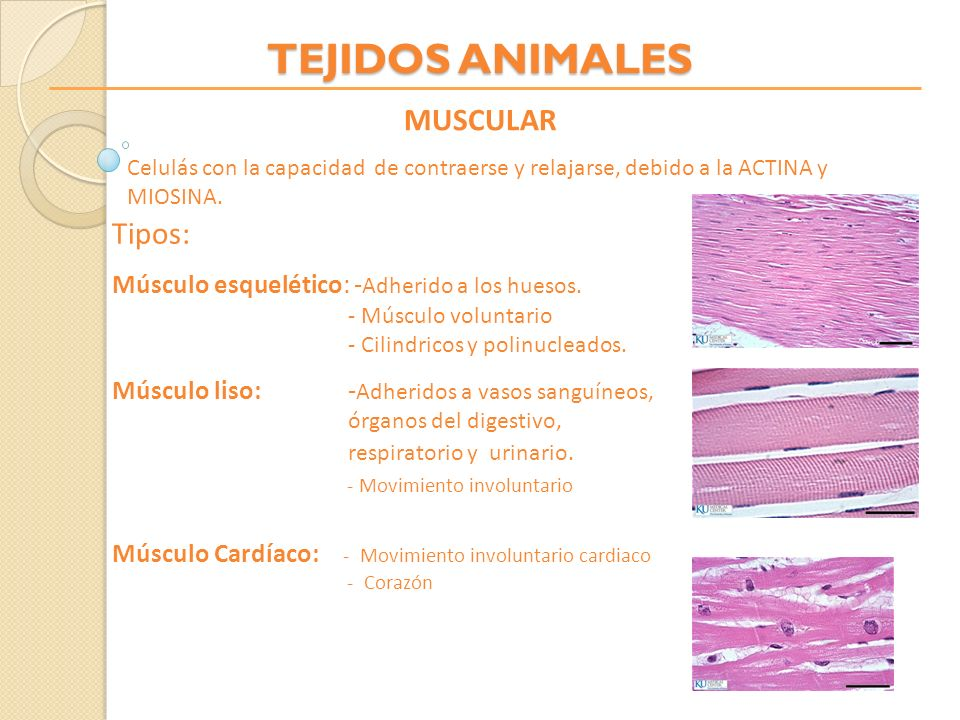 TEJIDOS ANIMALES MUSCULAR Tipos: