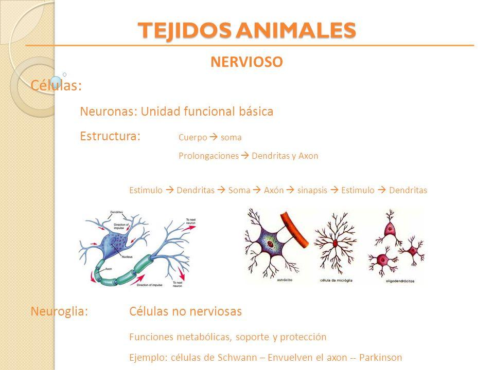 TEJIDOS ANIMALES NERVIOSO Células: Neuronas: Unidad funcional básica