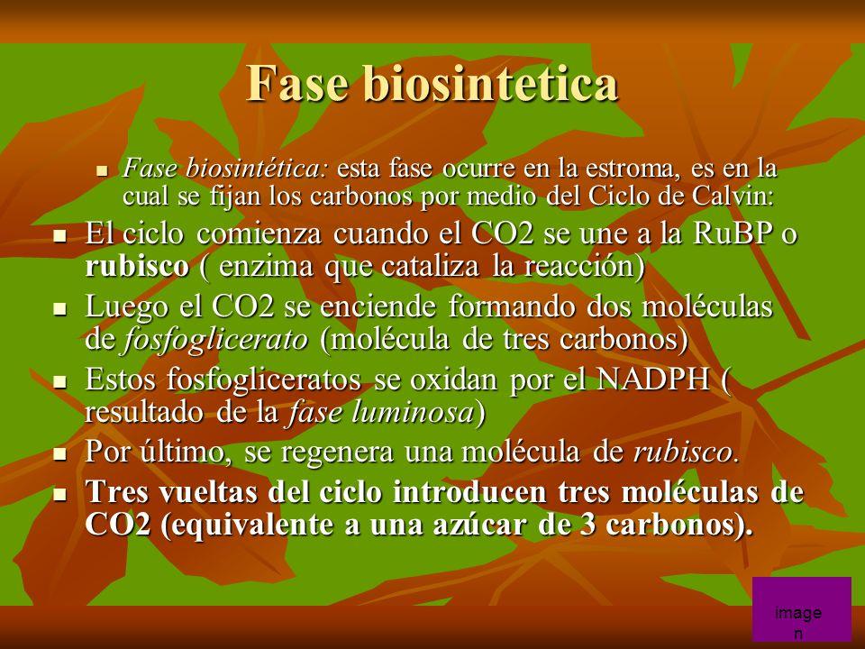 Fase biosintetica Fase biosintética: esta fase ocurre en la estroma, es en la cual se fijan los carbonos por medio del Ciclo de Calvin: