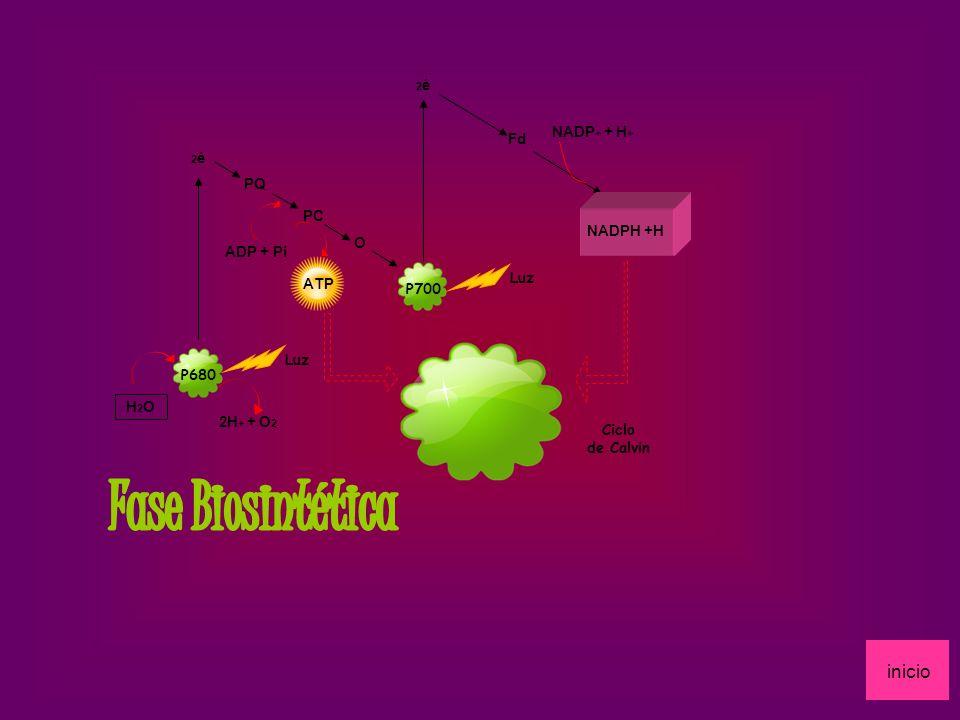 Fase Biosintética inicio NADP+ + H+ Fd PQ PC NADPH +H O ADP + Pi ATP
