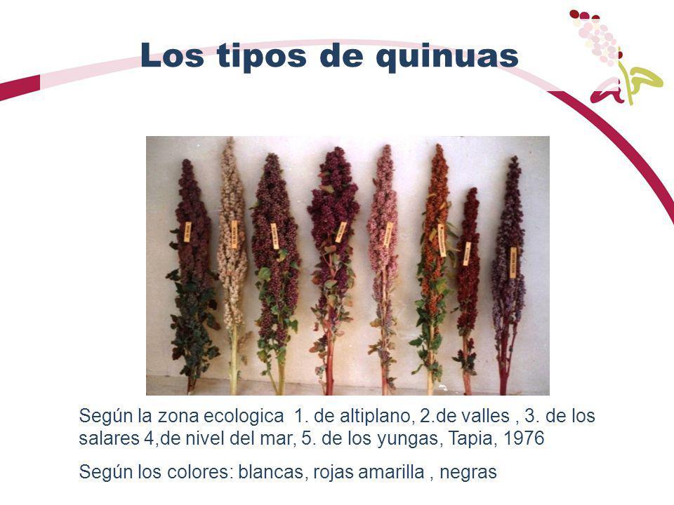 Los tipos de quinuas Según la zona ecologica 1. de altiplano, 2.de valles , 3. de los salares 4,de nivel del mar, 5. de los yungas, Tapia, 1976.
