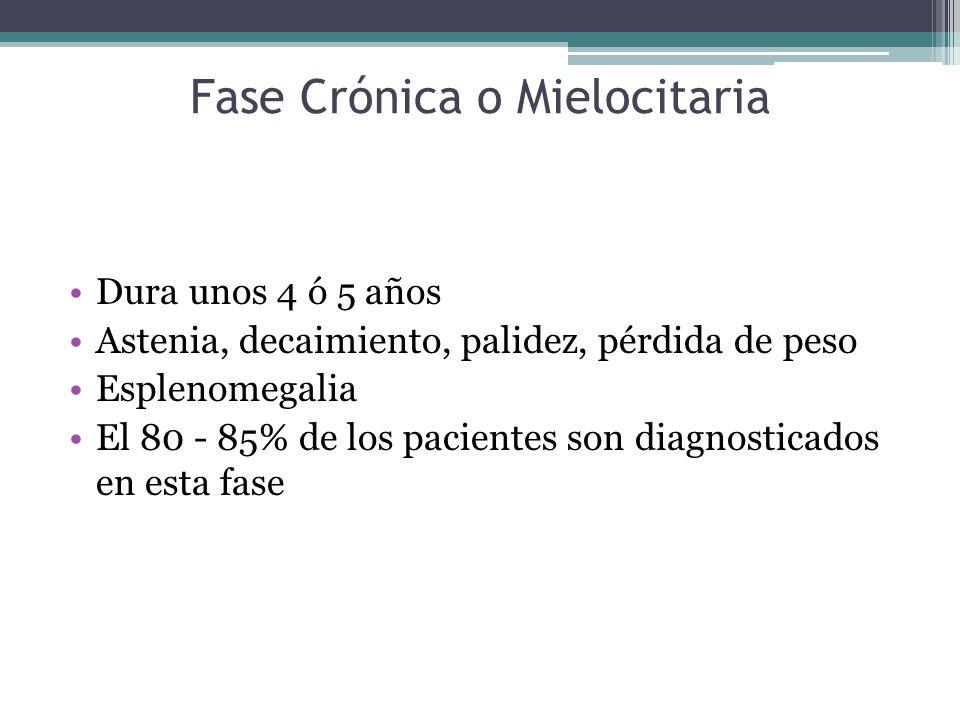 Fase Crónica o Mielocitaria