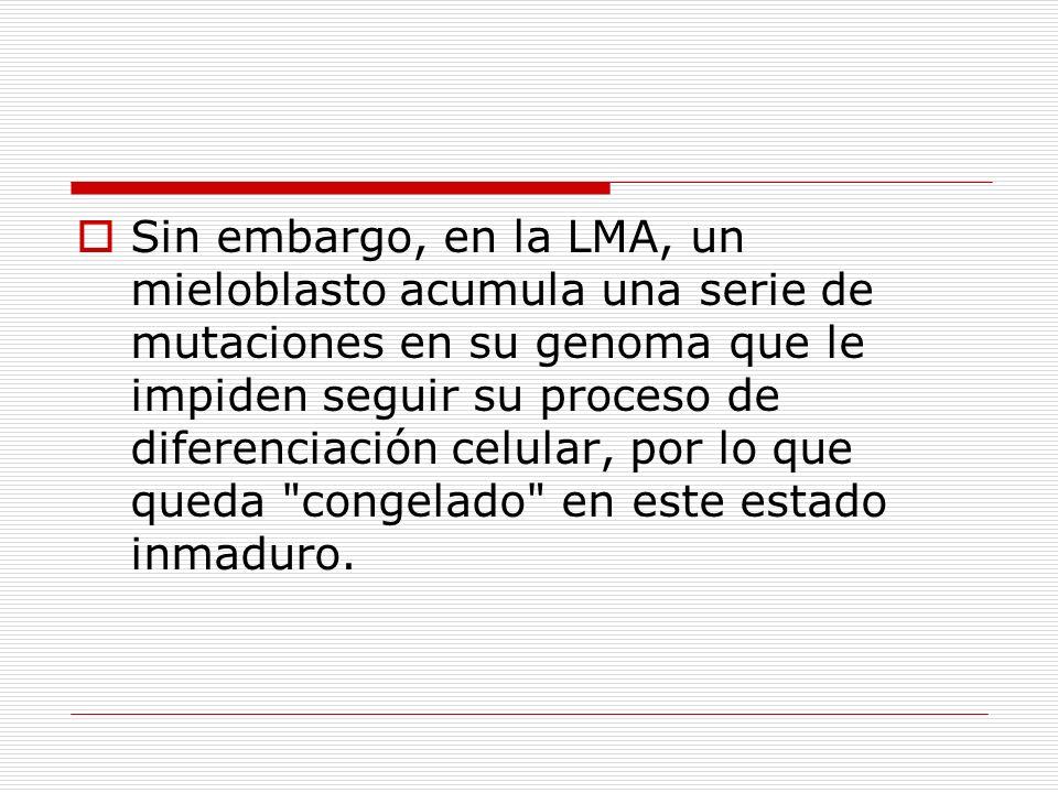 Sin embargo, en la LMA, un mieloblasto acumula una serie de mutaciones en su genoma que le impiden seguir su proceso de diferenciación celular, por lo que queda congelado en este estado inmaduro.