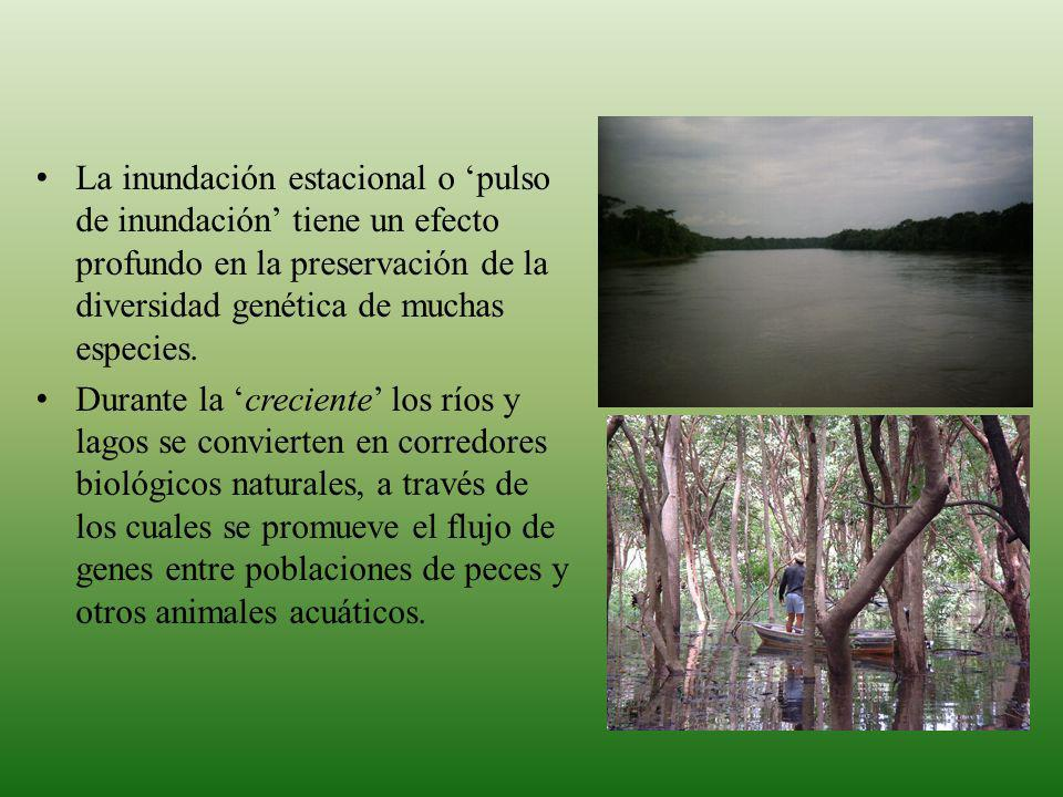 La inundación estacional o 'pulso de inundación' tiene un efecto profundo en la preservación de la diversidad genética de muchas especies.