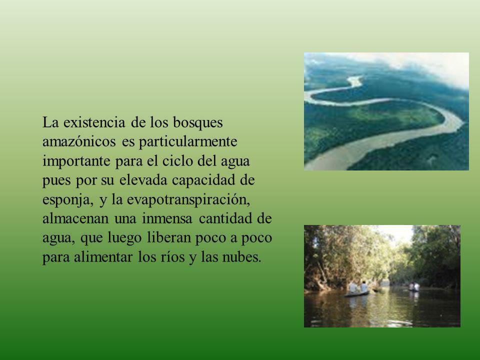 La existencia de los bosques amazónicos es particularmente importante para el ciclo del agua pues por su elevada capacidad de esponja, y la evapotranspiración, almacenan una inmensa cantidad de agua, que luego liberan poco a poco para alimentar los ríos y las nubes.