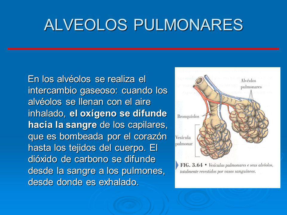 ALVEOLOS PULMONARES
