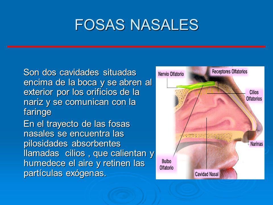 FOSAS NASALES Son dos cavidades situadas encima de la boca y se abren al exterior por los orificios de la nariz y se comunican con la faringe.