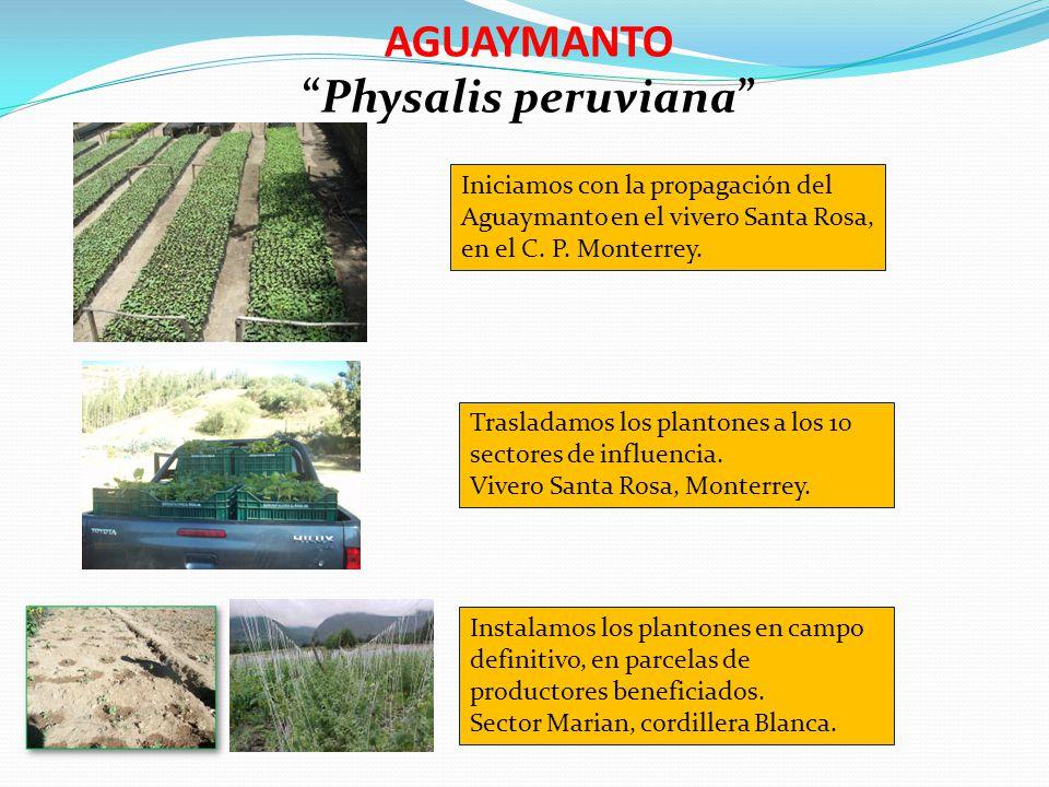 AGUAYMANTO Physalis peruviana