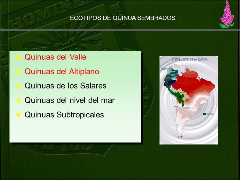 Quinuas del nivel del mar Quinuas Subtropicales