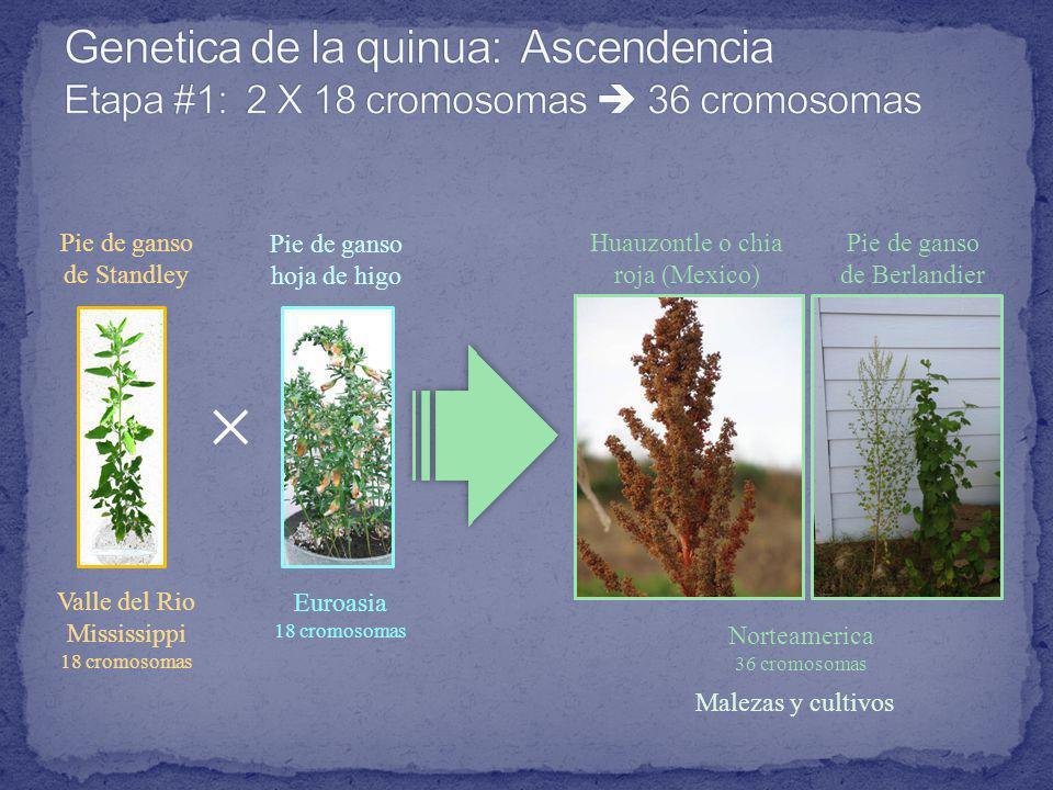 Genetica de la quinua: Ascendencia Etapa #1: 2 X 18 cromosomas  36 cromosomas