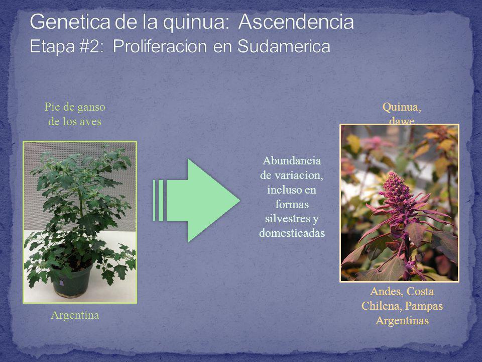 Genetica de la quinua: Ascendencia Etapa #2: Proliferacion en Sudamerica