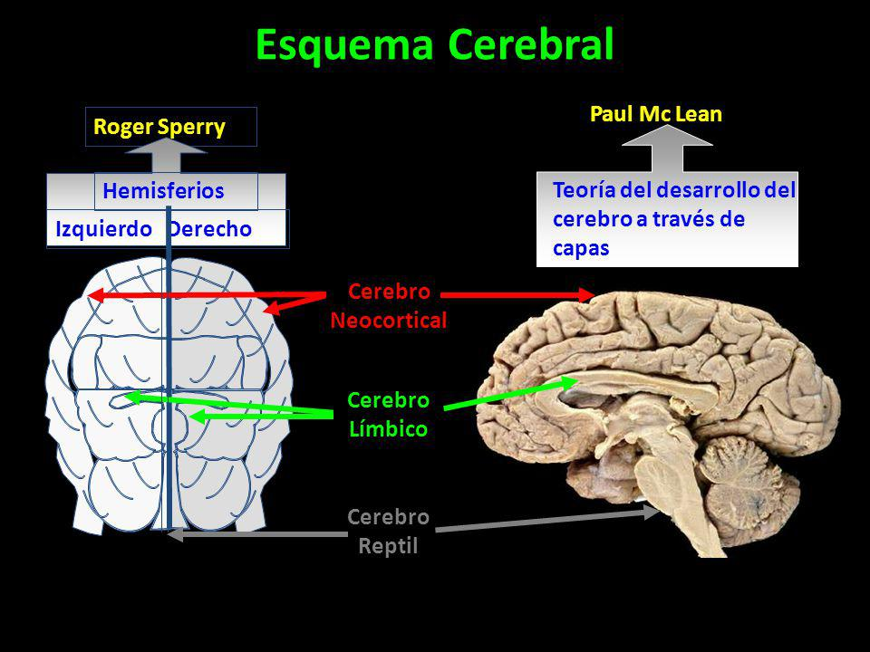 Esquema Cerebral Paul Mc Lean Roger Sperry Hemisferios