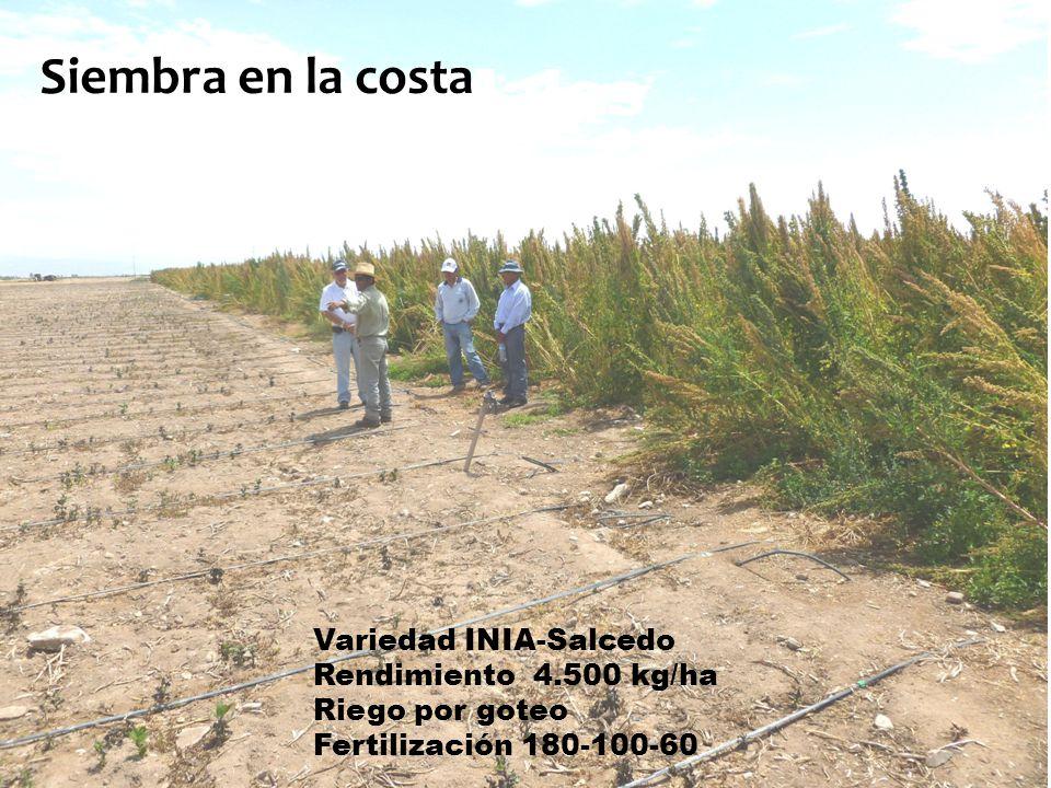 Quinua en Majes (Agricultura convencional)