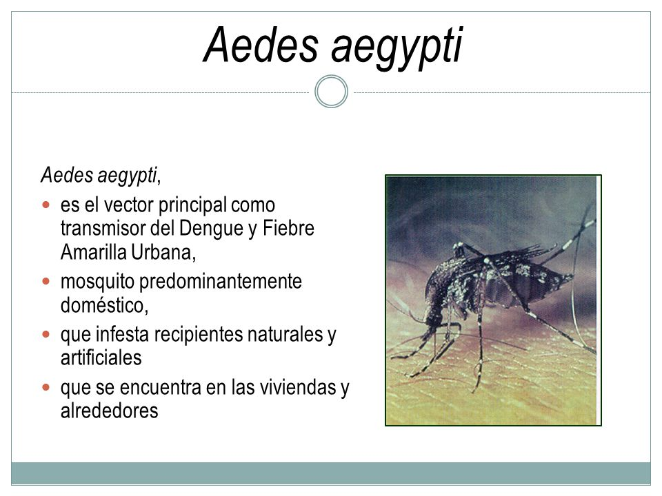 Aedes aegypti Aedes aegypti,