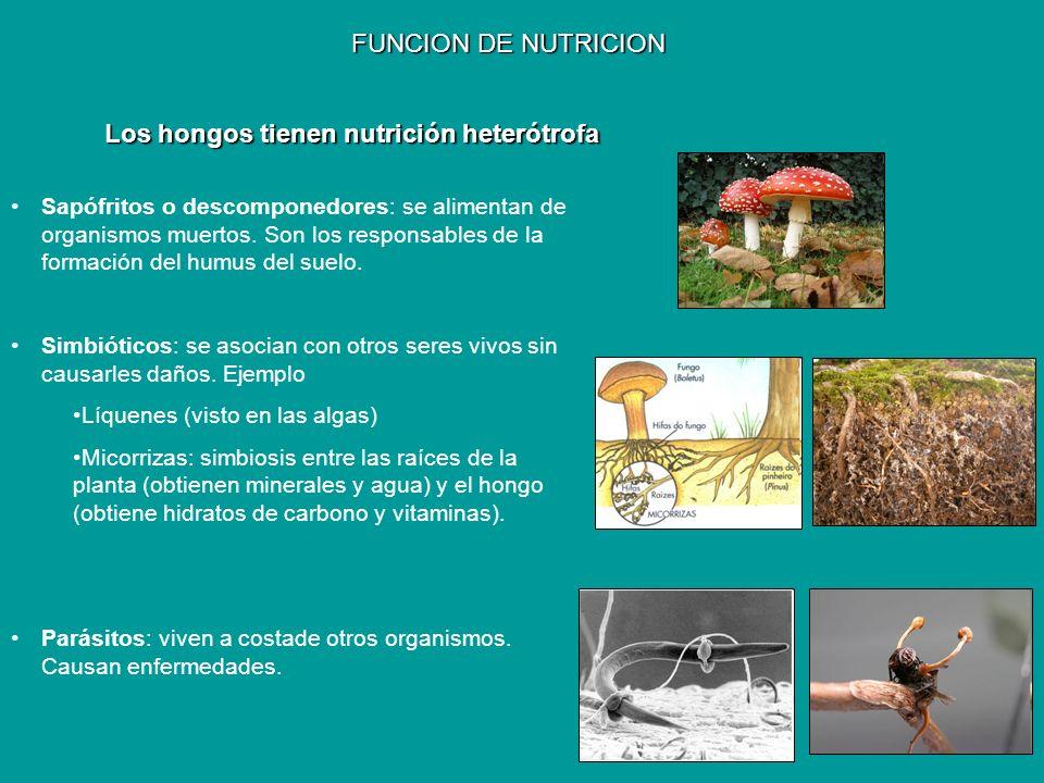 Los hongos tienen nutrición heterótrofa
