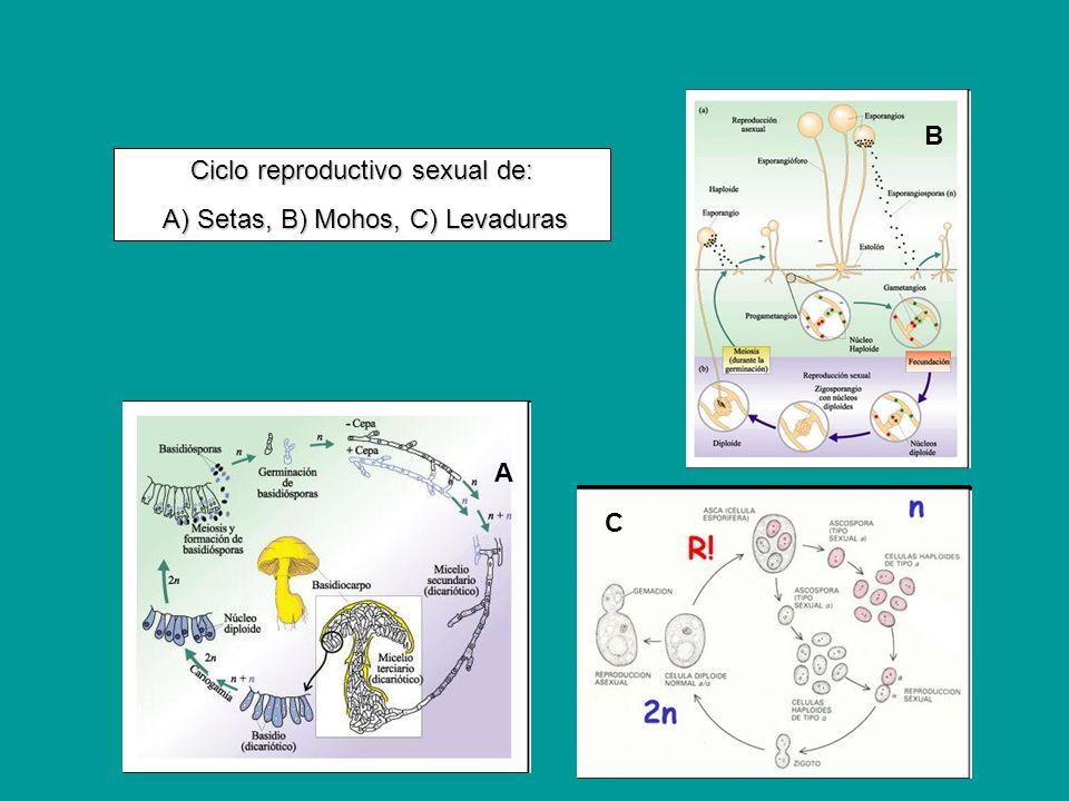 Ciclo reproductivo sexual de: A) Setas, B) Mohos, C) Levaduras