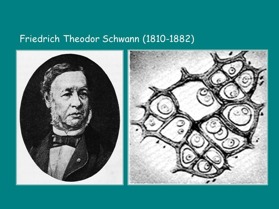 Friedrich Theodor Schwann (1810-1882)