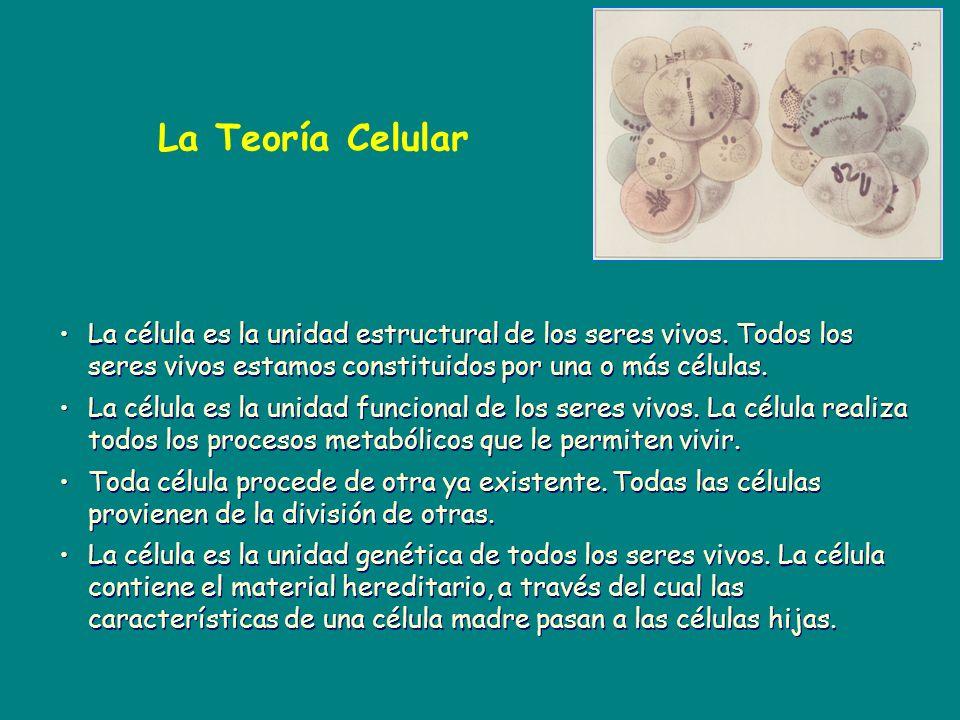 La Teoría Celular La célula es la unidad estructural de los seres vivos. Todos los seres vivos estamos constituidos por una o más células.