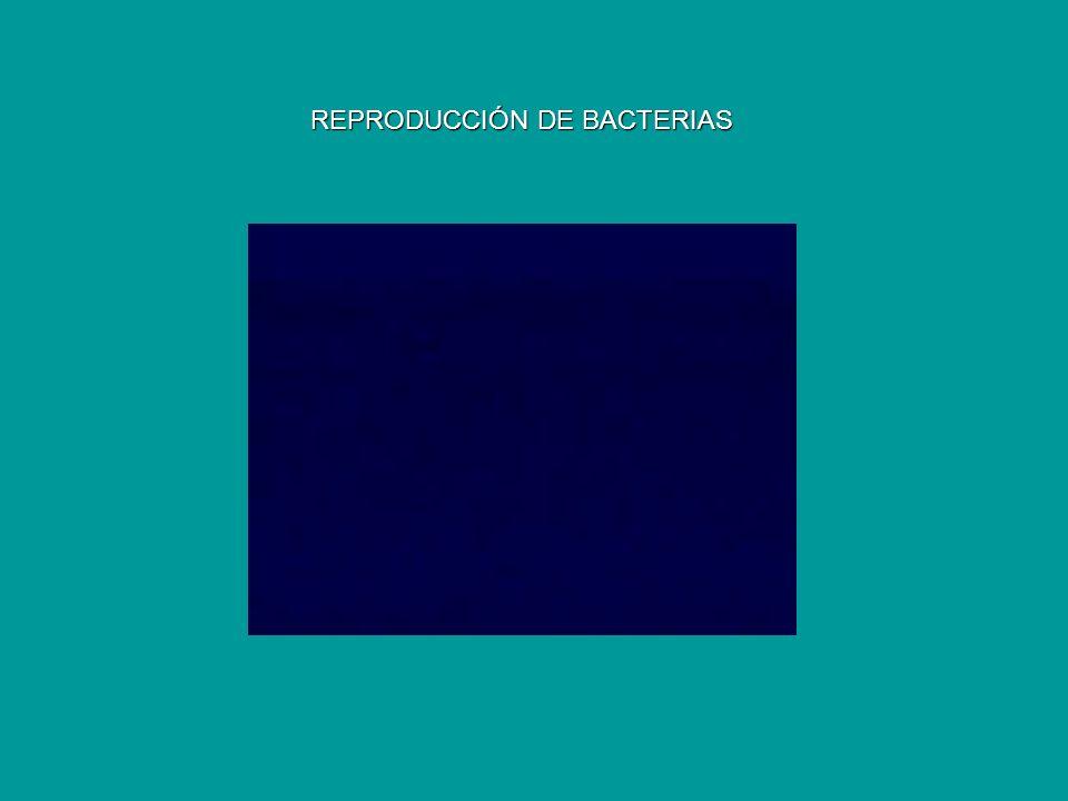 REPRODUCCIÓN DE BACTERIAS