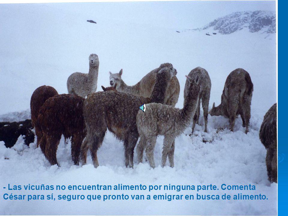 - Las vicuñas no encuentran alimento por ninguna parte