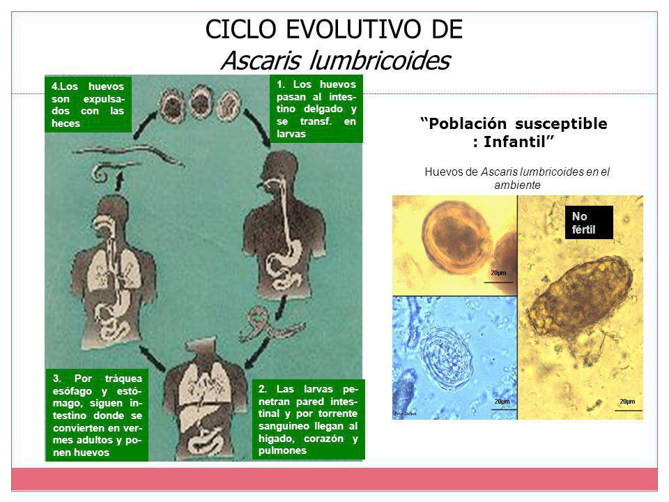 CICLO EVOLUTIVO DE Ascaris lumbricoides
