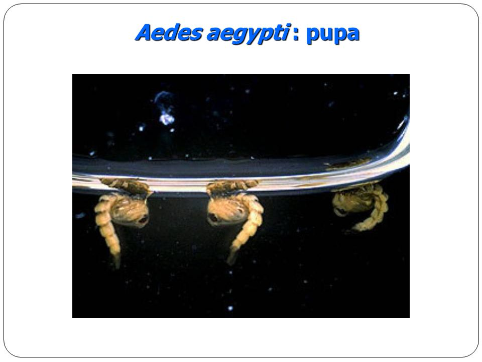 Aedes aegypti : pupa
