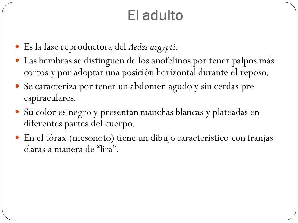 El adulto Es la fase reproductora del Aedes aegypti.