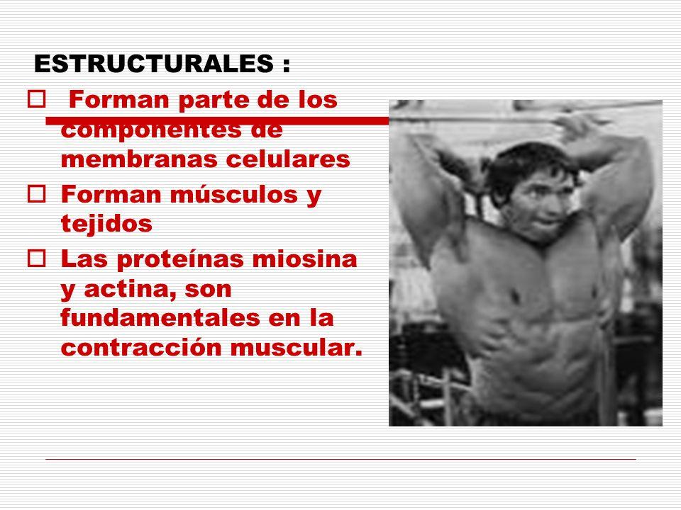 ESTRUCTURALES : Forman parte de los componentes de membranas celulares. Forman músculos y tejidos.