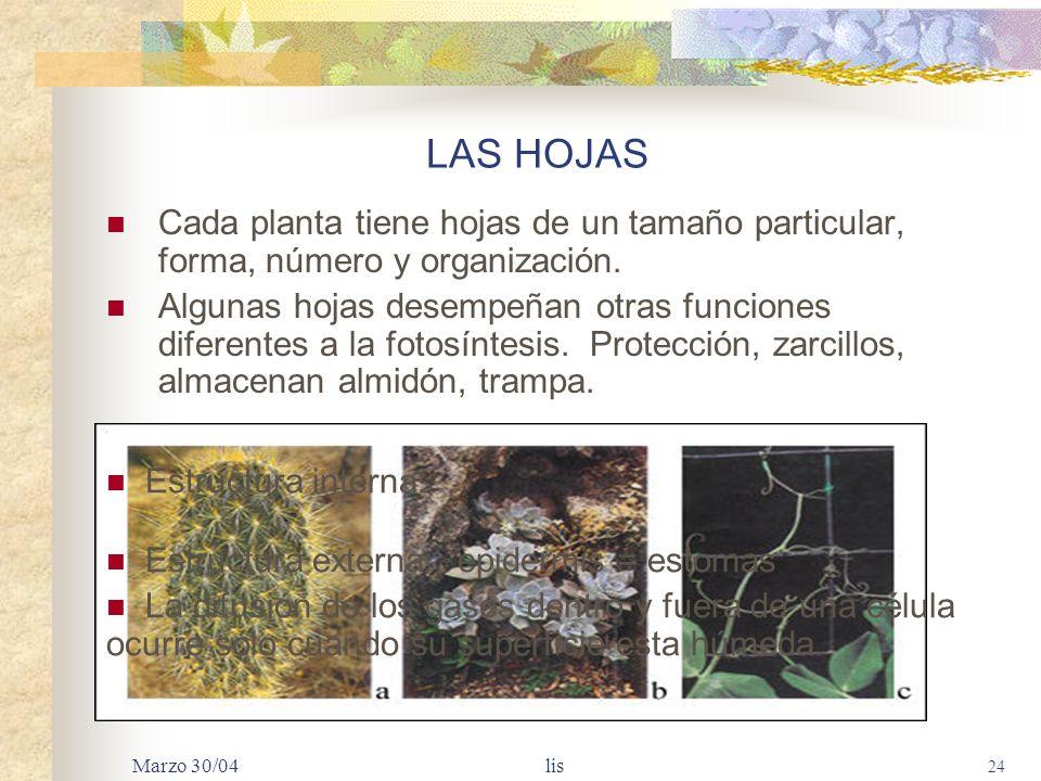 LAS HOJAS Cada planta tiene hojas de un tamaño particular, forma, número y organización.