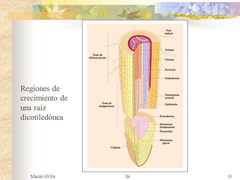 Regiones de crecimiento de una raíz dicotiledónea