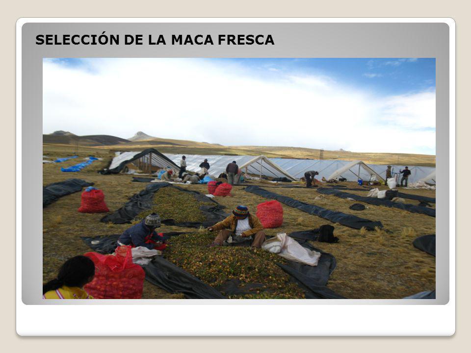 SELECCIÓN DE LA MACA FRESCA