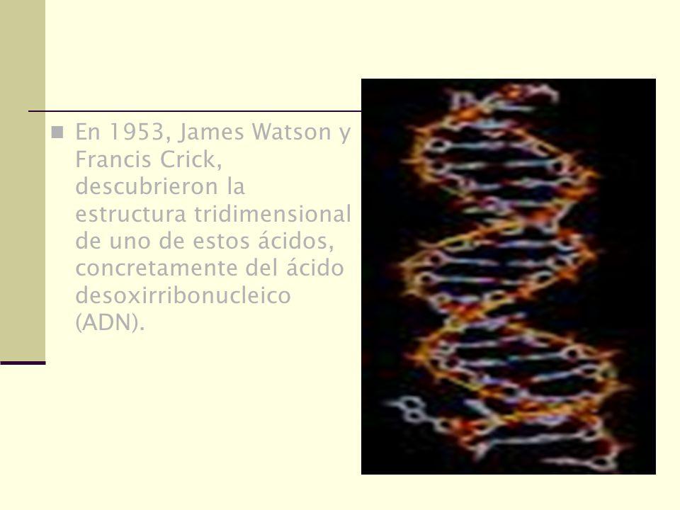 En 1953, James Watson y Francis Crick, descubrieron la estructura tridimensional de uno de estos ácidos, concretamente del ácido desoxirribonucleico (ADN).