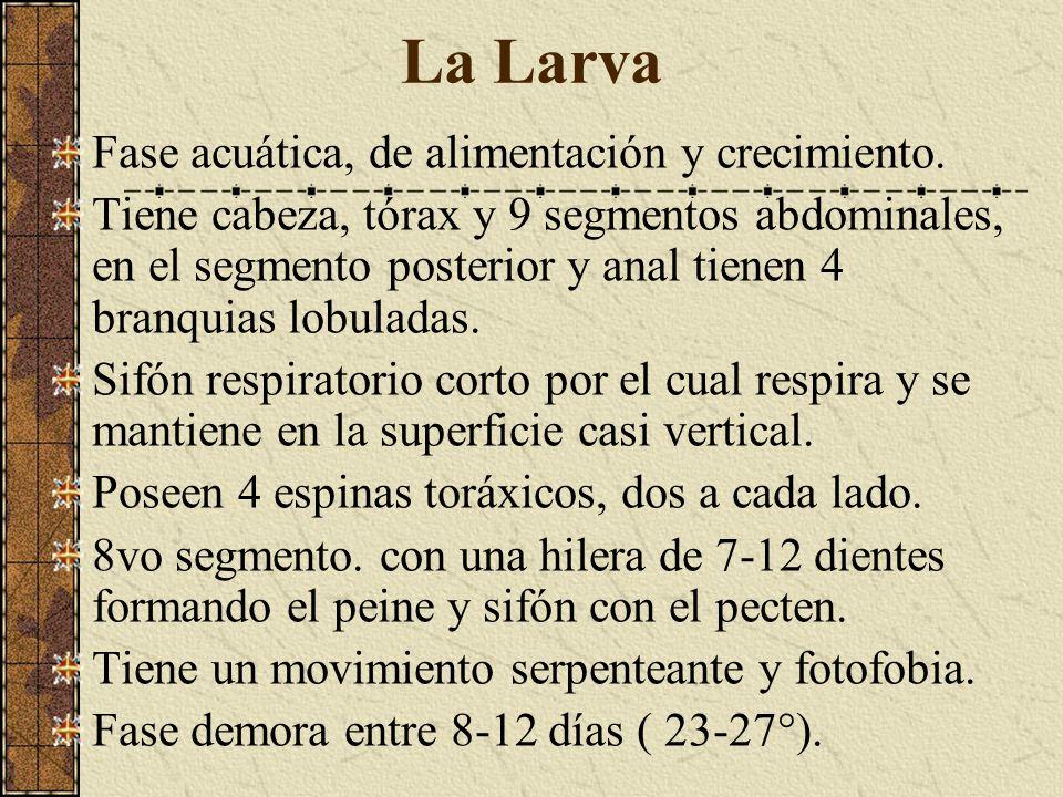 La Larva Fase acuática, de alimentación y crecimiento.