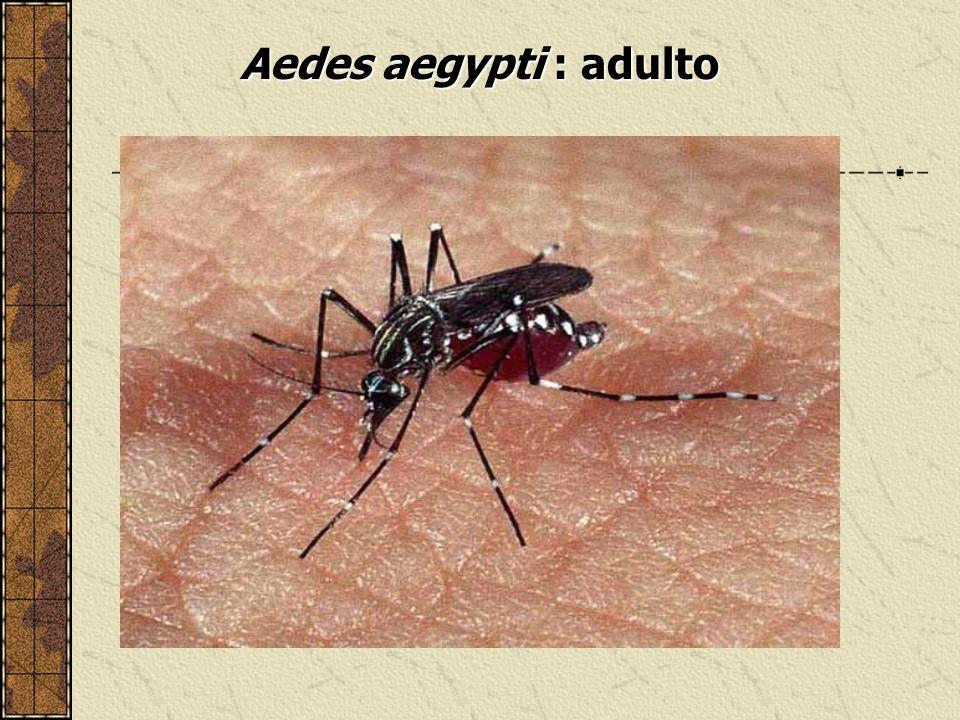 Aedes aegypti : adulto